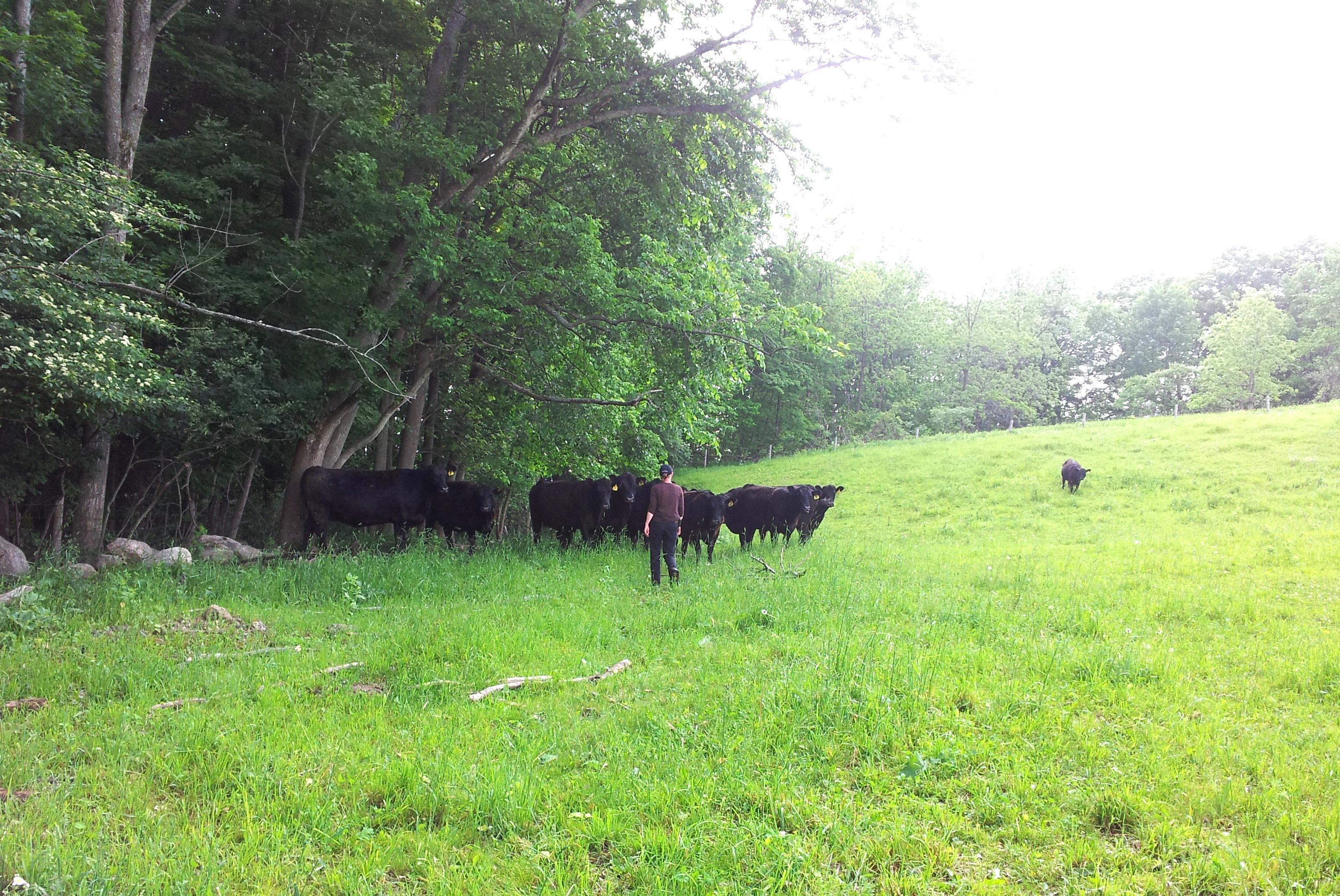 Heifers.